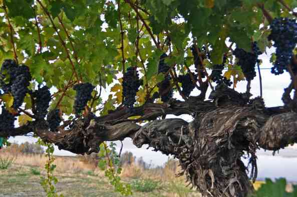 Old-Vine-Cab-wine-grapes-at-Sagemoor-Vineyards-Washington